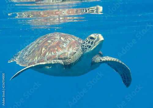 Photo  Green sea turtle (Chelonia mydas) swims to the surface to breath air, Bali, Indo