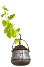 Vigne Dans Chaudron, Fond Blanc