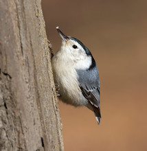 White-breasted Nuthatch (Sitta...