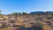 Joshua Tree National Park Panorama Of Joshua Trees And Mountain Chain On Horizon. Sparse Vegetation On Desert Plains Dotted With Joshua Trees And Yucca Palms.