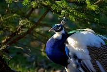 Peacock, A Portrait