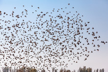 A Swarm Of Birds