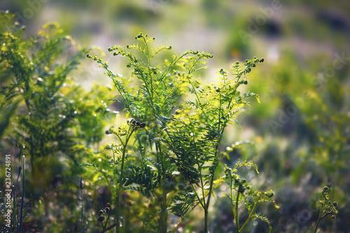 фотография  Fresh fern in the meadow on a sunny spring morning