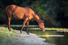 Bay Horse Drink Water In River...