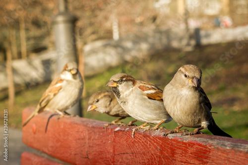 Fotografía House sparrow sitting outside. Urban birds. Tree sparrow