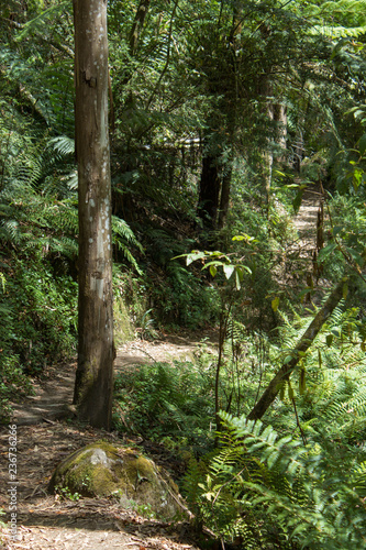 Fotografie, Obraz  Forest walking track with Eucalyptus tree in Victoria amptheatre falls