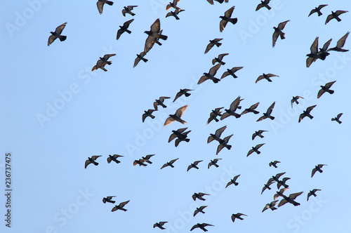 Pigeons flying against clear blue sky