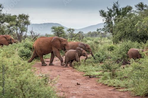 Poster Afrique du Sud Elefantenherde überqueren Landstraße im Madikwe Game Reserve