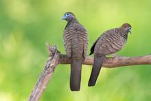 Bird Lovers , Zebra Dove