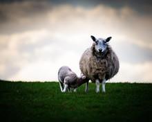 Mother Sheep Feeding Lamb On I...