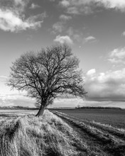 Lonely Tree In Lincolnshire Farm Land Leaning Into The Wind With Moon Overhead