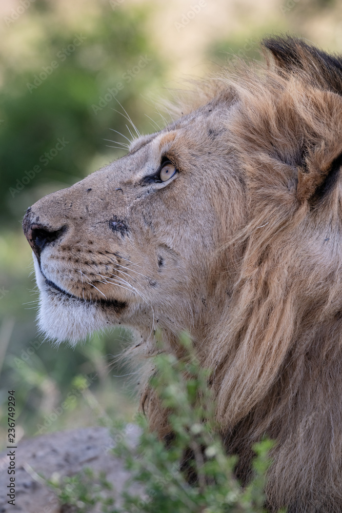 lion face in closeup