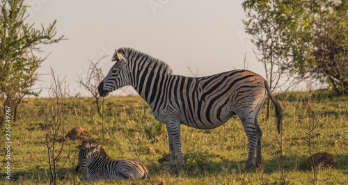 Tuinposter Zebra Burchell's zebra mare and foal isolated on a ridge in the African bush image with copy space in landscape format