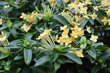 Fresh Of Little Groups Of Bright Yellow Ixora Flowers With Lush Of Green Leaves.
