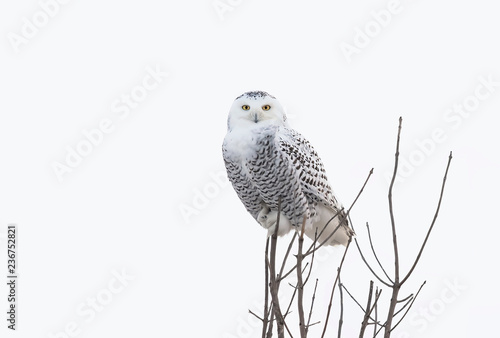Snowy owl (Bubo scandiacus) perched high up in a tree hunting over a snowy field in Ottawa, Canada