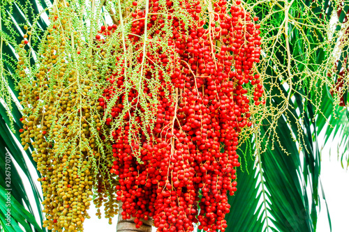 Foto auf AluDibond Aromastoffe fresh of raw palm seeds in farm and seed has colorful palm fruits