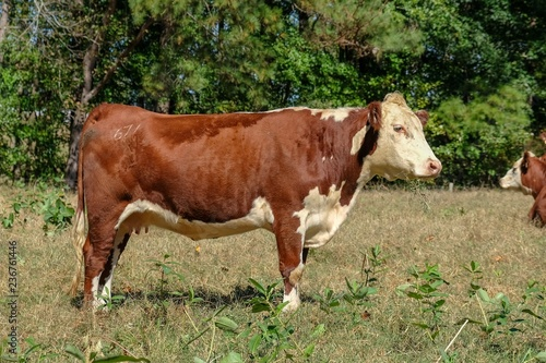 Fotografering  Profile view of a brown and white female hereford breed in Raleigh North Carolina