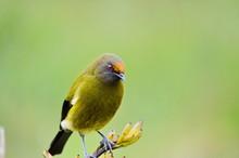 Bellbird In The Wild On The So...