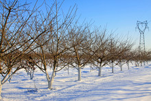 Peach Trees In The Snow