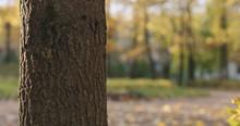 Closeup Of Maple Tree Trunk In Autumn City