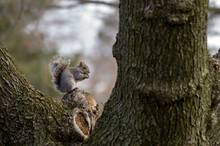 Squirrel On Tree Nibbling Walnut