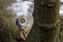Squirrel On Tree Nibbling Walnut