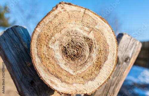Fotografia  Crosscut view of sick pine log on wooden sawhorse, preparation for the cold season