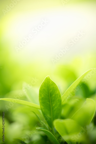 Closeup nature view of green leaf on blurred greenery background in garden with copy space using as background natural green plants landscape, ecology, clean fresh wallpaper concept. - 236791662