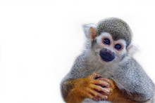 Squirrel Monkey On White Background.
