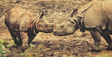 Beautiful Retro Photography Of One Horned Rhinoceros. Old Photo. Close Up Photo Of An Adult Rhino And Calf Rhino. Amazing Wildlife Of A National Reserve. Creative Artwork. Matte. Wonderful Vintage