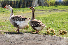 A Pair Of Domestic Geese With Goslings For A Walk