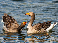 Two Greylag Geese (Anser Anser) On Water Courting
