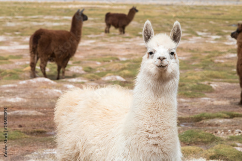 llama in the wild in the Andes