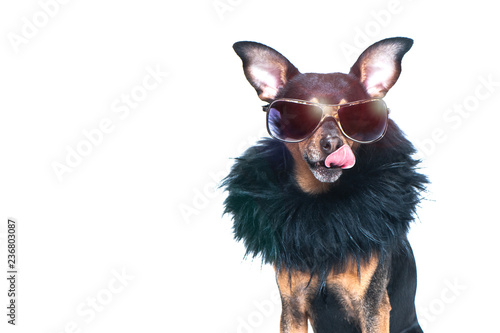 Stickers pour portes Chien Stylish, chic dog isolated , diva in a fur coat and glasses licked in anticipation of purchases and discounts. Fashion and shopping concept