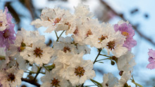 Lagerstroemia Macrocarpa Wall Or Queen Of Flowers With Light Evening.