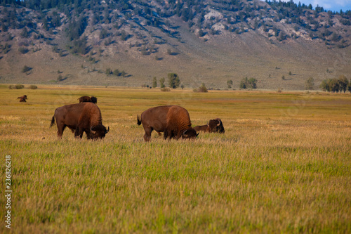 Aluminium Prints The herd bison in Yellowstone National Park, Wyoming. USA.