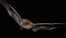 Daubenton's Bat - A Night Fly ...