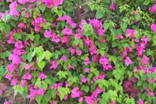 Lilac Bougainvillea Flowers Blossoming In Bush In Garden