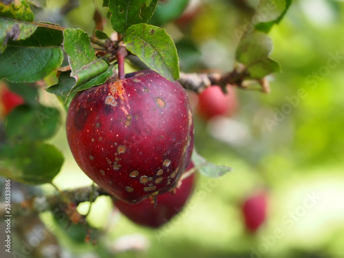 Apples with black scabby blotches on tree, infected with apple scab fungal disease. Blurred background.