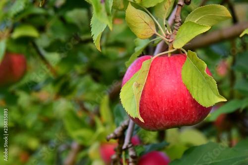 Reifer roter Apfel an einem Ast - Apfelernte in Südtirol