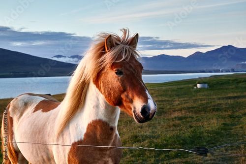 Photo Icelandic horse in the sunset light, portrait