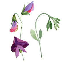 Red Sweet Pea Flowers. Watercolor Illustration Set On White Background. Isolated Sweet Pea Illustration Element.