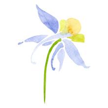 Blue Yellow Aquilegia Flower. Isolated Aquilegia Illustration Element. Watercolor Background Illustration Set.