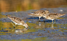 A Group Of Least Sandpipers In Acadia National Park In Maine.