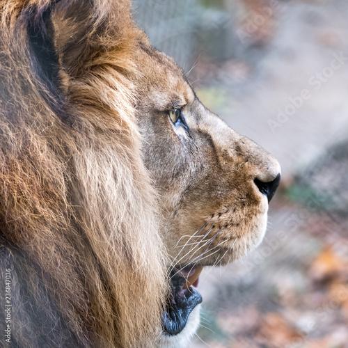 Fototapety, obrazy: Close up of lion head with mane. Photographed at Port Lympne Safari Park near Ashford Kent UK.