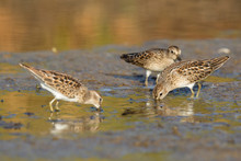 A Group Of Least Sandpipers In...