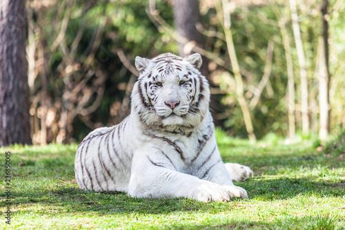 Fényképezés tigre blanc