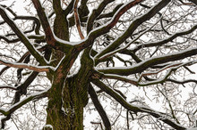Old Oak Branches Covered By Snow