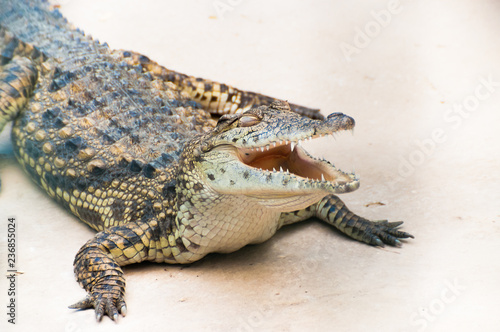 Fotografie, Obraz  Caiman alligator crocodile sitting on the ground with open mouth