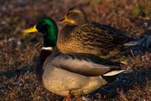 Portrait Of A Mallard Duck Pair, Canada